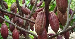 Kakao Sang Primadona Indonesia