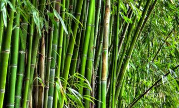 Cara Menangani Bambu dengan Baik ban Benar