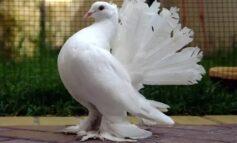 Cara Budidaya Burung Dara Kipas Buat Pemula