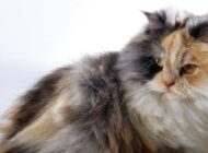 Cara Merawat Kucing Anggora Agar Tetap Sehat dan Cantik