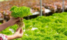 Peluang Bisnis Sayuran Hidroponik Sangat Menguntungkan