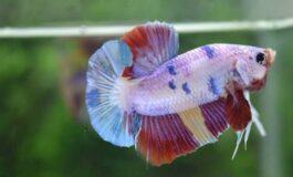 7 Tipe Ikan Cupang Hias Paling Bagus Untuk Dipelihara