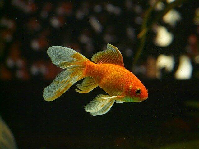 Jenis Ikan Mas Untuk Konsumsi dan Hias Aquarium